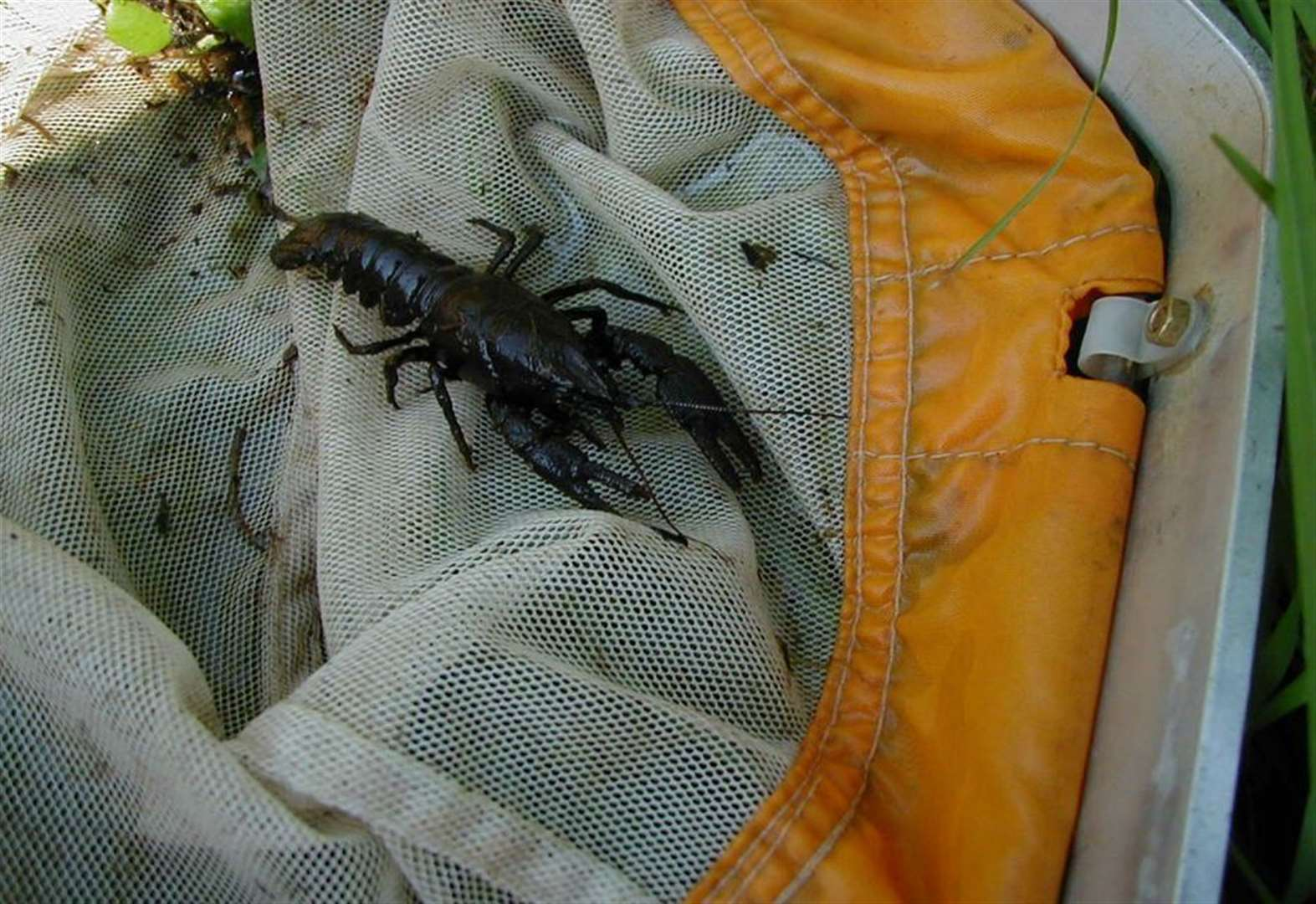 Hundreds of crayfish will be relocated from the River Witham near Grantham into a refuge to boost population