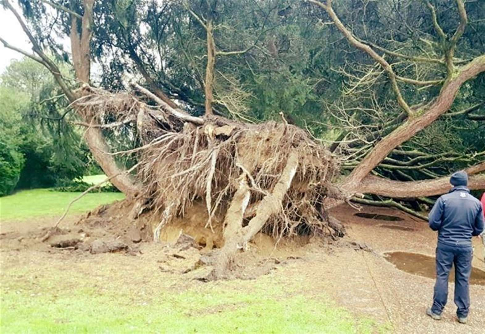 Visitors 'devastated' after 200-year-old tree is uprooted at Belton House in Grantham