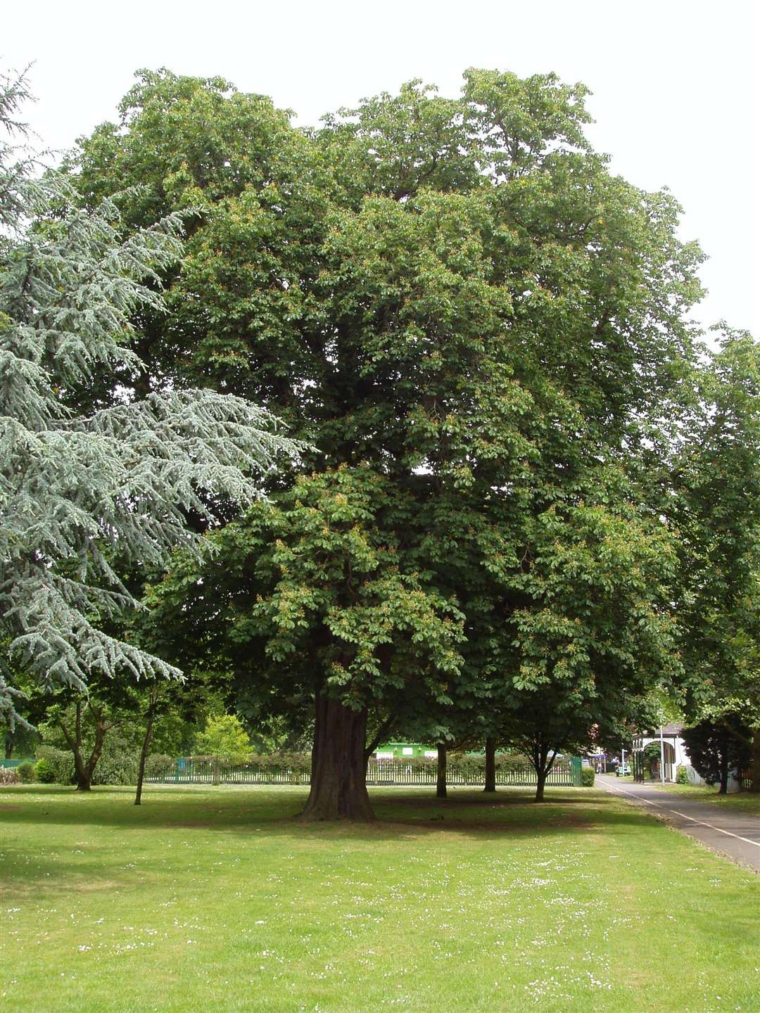 The horse chestnut tree in Wyndham Park, pictured in 2006, which had to be cut down in 2018. (6301073)