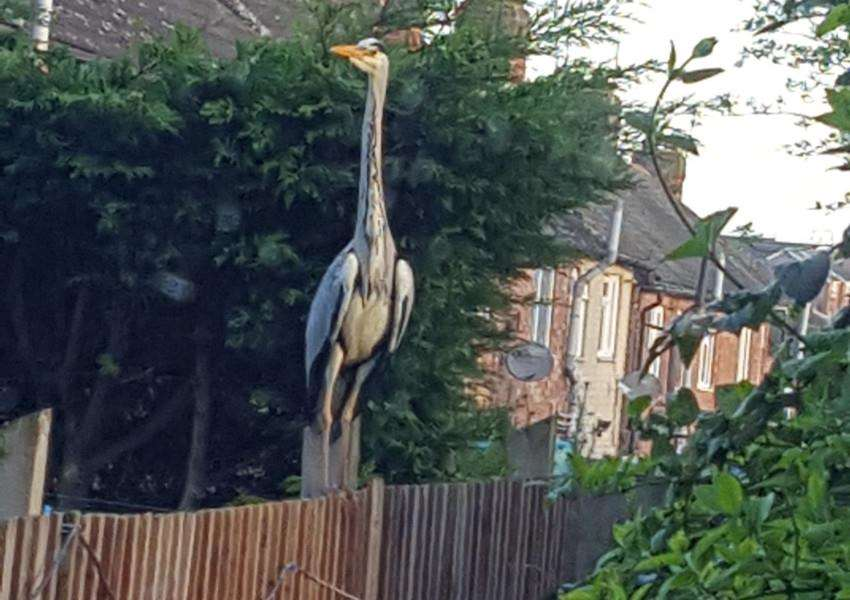 A heron photographed by Tina Turner as it landed on her garden fence in Dysart Road, Grantham.