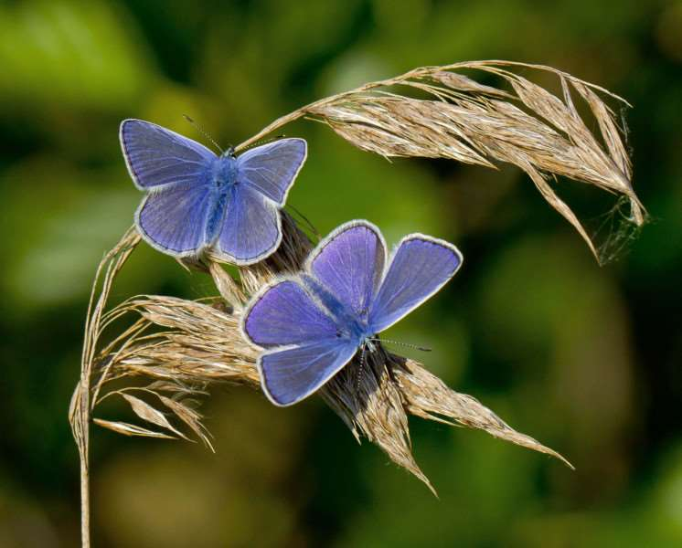 Common blue butterfly. Photo: Ivan Lynas, Butterfly Conservation.