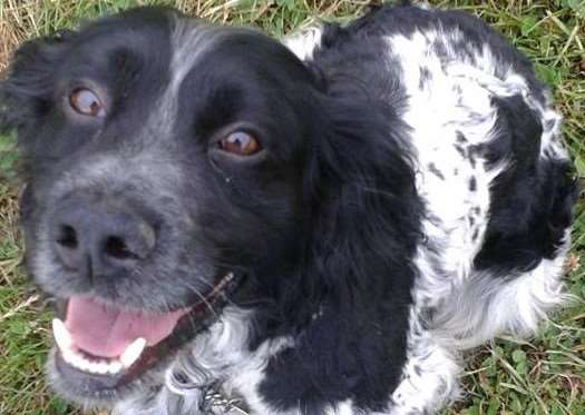 Cocker spaniel Jack has been found.