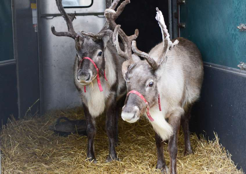 Reindeer at Christmas on the Green.