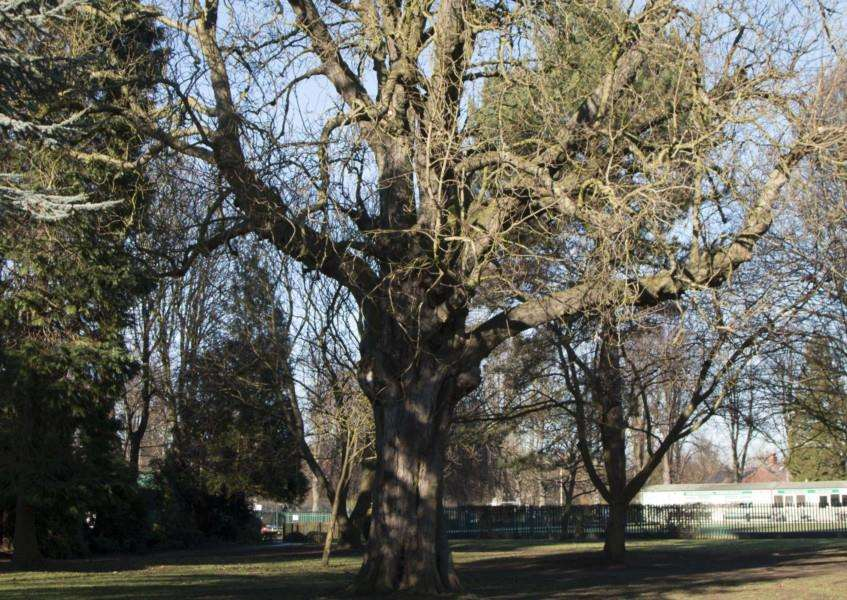 The century-old chestnut tree in Wyndham Park, Grantham, which must be removed.
