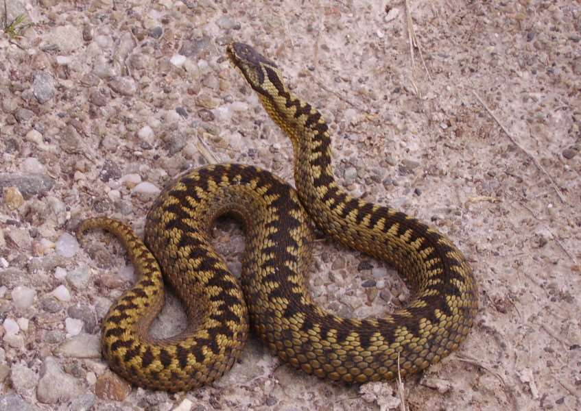 Adders have been spotted along Grantham Canal.