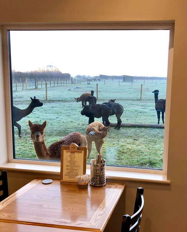 Farming couple Martin and Clare Stangan have opened an Alpaca Centre on the site of Meadow Farm, Clensey Lane, Dry Doddington. (6224177)