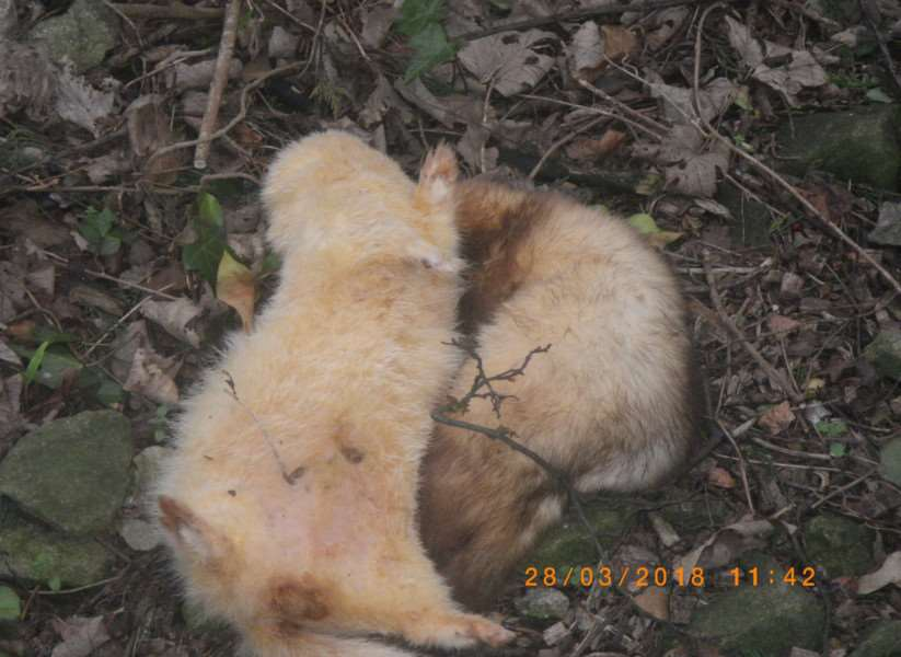 Some of the ginger ferrets found by the A1