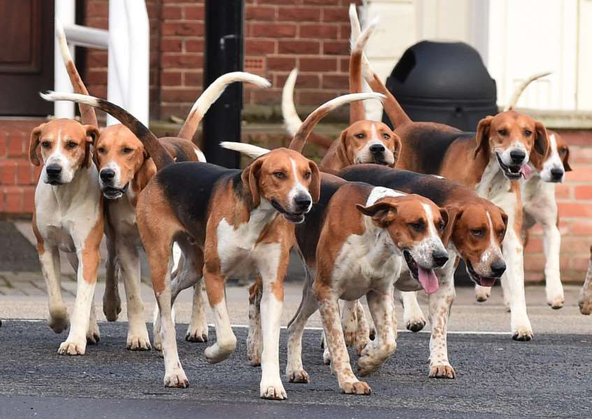 Hounds of the Belvoir Hunt