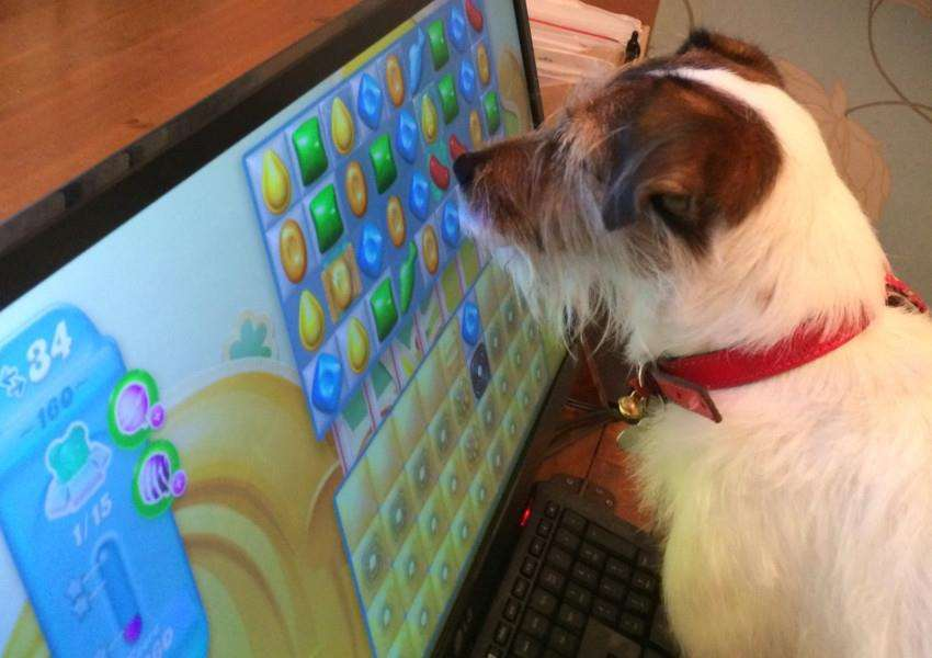 Jack Russell Will plays Candy Crush.