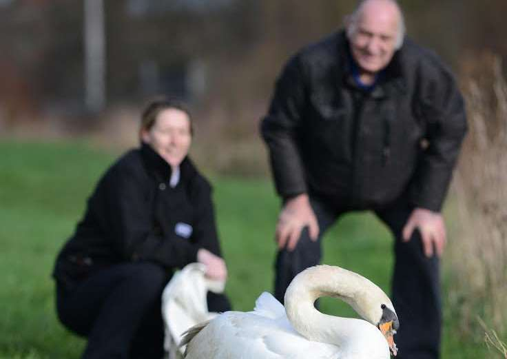 Injured swan is released back on to the River Witham