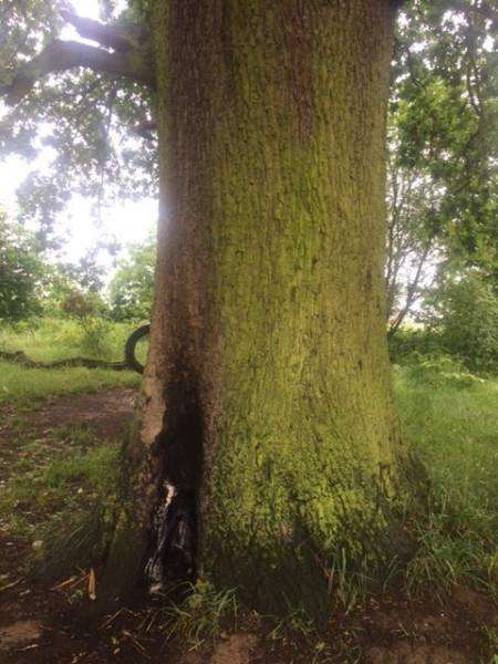 Vandals set fire to the base of this large oak in Gonerby Hill Foot.