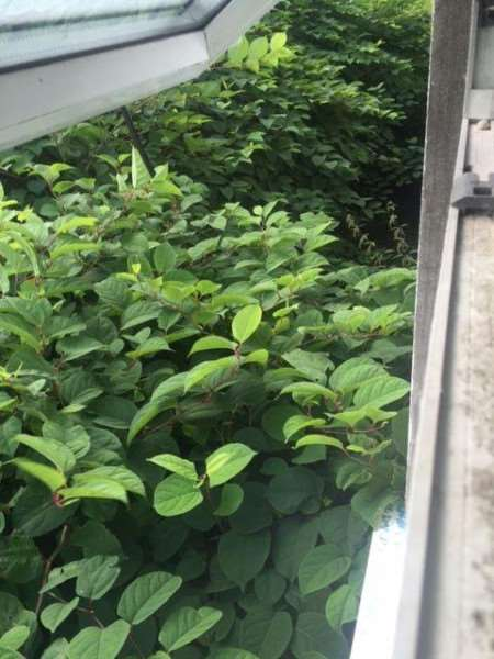 The knotweed reached neighbours' windows, blocking sunlight.